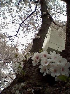 桜2015 1.jpg